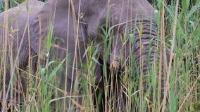 Grazing African Elephant in Etosha stock video footage