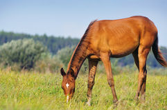 Grazing akhal-teke colt. The grazing akhal-teke colt on pasture Stock Photos