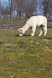 Grazing Alpaca Royalty Free Stock Photos