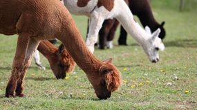 Grazing alpacas, profiles. Stock Photos