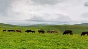 Grazing in the alpine meadows of cows and horses. Time lapse. Russia, the Caucasus Mountains, Kabardino-Balkaria. Grazing in the alpine meadows of cows and stock video footage
