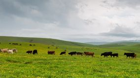 Grazing in the alpine meadows of cows and horses. Time lapse. Russia, the Caucasus Mountains, Kabardino-Balkaria. Grazing in the alpine meadows of cows and stock footage