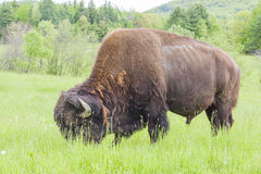 Grazing American bison Stock Photography