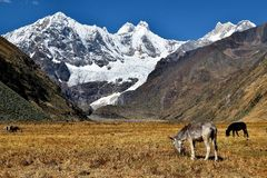 Grazing in the Andes Royalty Free Stock Image