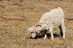 Grazing Angora Goat. An Angora goat grazing in the arid region of Lesotho, Africa Stock Photography