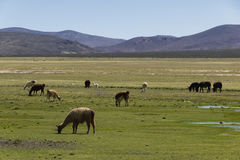Grazing animals on the altiplano Stock Photography