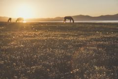 Grazing animals silhouettes in the morning sun. Silhouettes of grazing animals, eating grass with wild flowers. Sunset and beautiful scenery Stock Photography