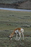 Grazing antelope. Not far from the river in Yellowstone National Park, before the sunrise Stock Image