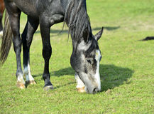 Grazing Arabian horse Royalty Free Stock Photography