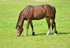 Grazing Arabian horse Royalty Free Stock Photos