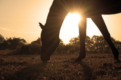 Grazing Arabian horse silhouetted against rising s Stock Photos