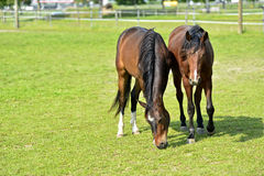 Grazing Arabian horses. Arabian horses grazing on a pasture Stock Image