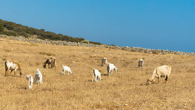Grazing area for goats and sheep at Paros island in Greece. Stock Photos