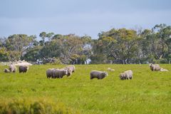 Grazing Australian Sheep Stock Photos