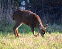 Grazing baby deer Stock Images