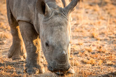 Grazing baby White rhino. Royalty Free Stock Photography