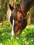 Grazing bay horse Royalty Free Stock Photography