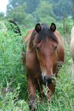 Grazing Bay horse. A brown bay horse grazing in the countryside fields Stock Images