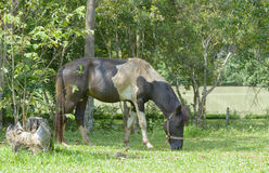 Grazing bay horse. Eating grass Royalty Free Stock Images
