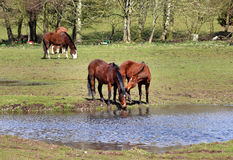 Grazing Bay Horse Royalty Free Stock Images