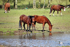 Grazing Bay Horse Stock Photography