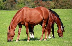 Grazing Bay Horse Stock Image