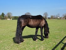 Grazing Bay Horse with Plaited Mane Royalty Free Stock Photo