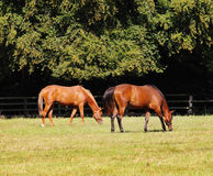 Grazing Bay Horses Royalty Free Stock Photos