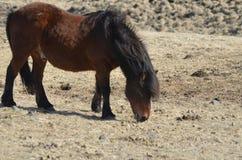 Grazing Bay Icelandic Horse Royalty Free Stock Photography