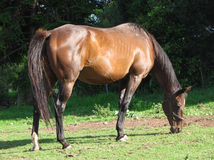 Grazing Bay Mare Royalty Free Stock Photography