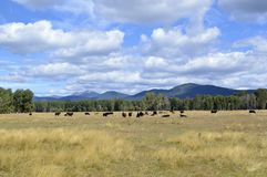Grazing Beef Steers in Oregon. Beef steers graze on the brown Fall grass near Chiloquin, Oregon royalty free stock photo