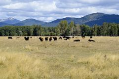 Grazing Beef Steers in Oregon stock image