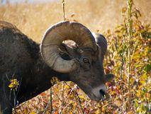 Grazing Bighorn Sheep Stock Photo