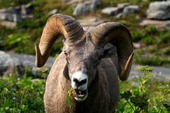 Grazing Bighorn Sheep in Montana Royalty Free Stock Images