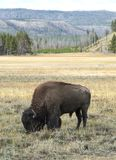 Grazing Bison Stock Photography