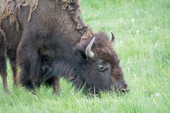 Grazing bison. An adult bison grazing in a field at Yellowstone National Park. I was able to get many pictures of bison while I was there. Most of the bison were Royalty Free Stock Photos