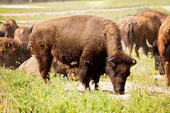 Grazing bison Stock Images