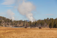 Grazing Bison and Geysers Royalty Free Stock Photo