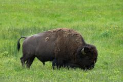 Grazing Bison in Green Meadow. Close up of a single bison grazing in a green meadow of grass and wildflowers. Seen in profile. Photographed in natural light in stock photos