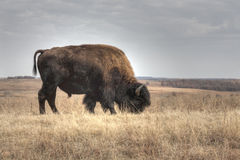 Grazing Bison. A image of an American Bison or Buffalo (Bison bison) grazing at the Tallgrass Prairie Preserve near Pawhuska, Oklahoma Stock Photos