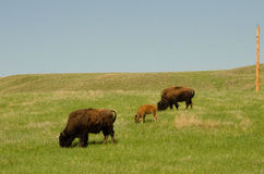 Grazing bison Stock Image