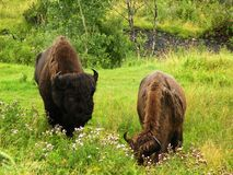 Grazing Bison. Two bison grazing in field with wildflowers in Yellowstone National Park Stock Images