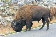 Grazing bison Stock Image