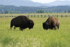 Grazing bisons Stock Photography