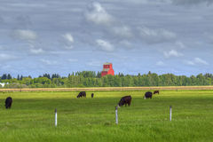 Grazing black angus cows Royalty Free Stock Photography