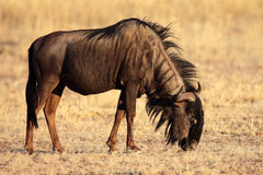 Grazing black-bearded wildebeest, Kalahari desert Royalty Free Stock Photography