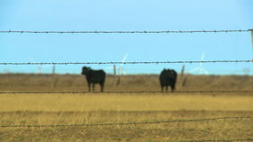 Grazing Black Bulls. Rack focus back and forth from a barbed wire fence in the foreground to two black bulls grazing in the background.  Deep in the background stock video