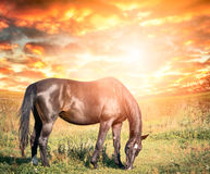 Grazing black horse against  sunset sky with clouds Royalty Free Stock Photo