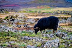 Grazing black sheep Stock Image