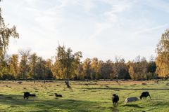 Grazing black sheep Stock Photography
